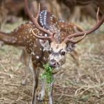 Deer Sri Lanka