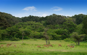 Herd of Deer Sri Lanka