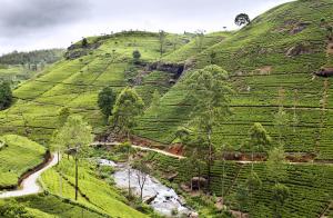 Tea Plantations in Hill Country