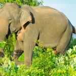 Elephant at Yala National Park, Sri Lanka