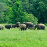 Wild Elephants in the Nature, Sri Lanka