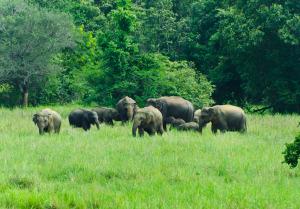 Wild Elephants in the Nature, Sri Lanka