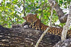 Sri Lankan Leopard at Wilpattu National Park, Sri Lanka