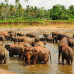 Asian Elephants at Pinnawala Elephant Orphanage Sri Lanka.