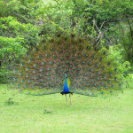 Peacock Sri Lanka