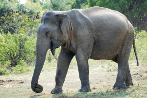 Wild Female Elephant at Yala National Park, Sri Lanka
