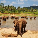 Elephants at Pinnawala Orphanage