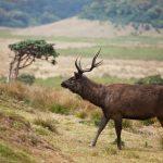 Sambar Deer Sri Lanka