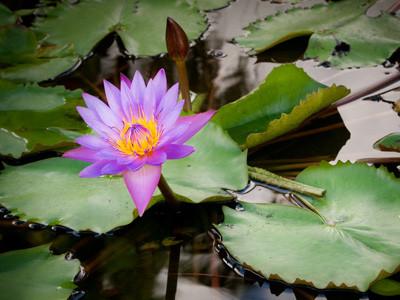 Water Lily Sri Lanka