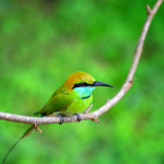 Green Bee Eater in Sri Lanka