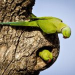 Rose-ringed Parakeet Pair in Sri Lanka