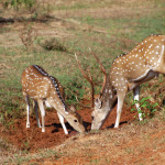 Spotted Deer at Yala National Park, Sri Lanka