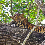 Sri Lankan Leopard at Wilpattu National Park, Sri Lanka