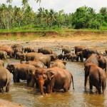 Asian Elephants at Pinnawala Elephant Orphanage Sri Lanka.