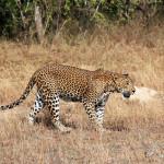 Sri Lankan Leopard Yala Sri Lanka