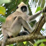 Monkey Sri Lanka