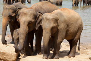 Baby Elephants Pinnawala Elephant Orphanage
