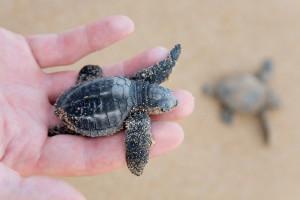 Loggerhead Turtle baby (Caretta carretta), Sri Lanka