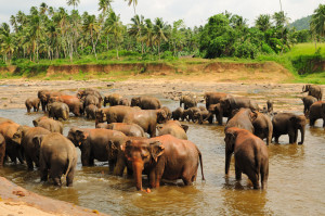 Herd of Asian Elephants, Pinnawela, Sri Lanka