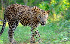Leopard in Wilpattu National Park
