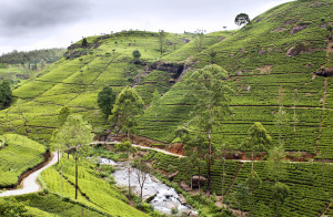 Tea trees on plantations Nuwara Eliya