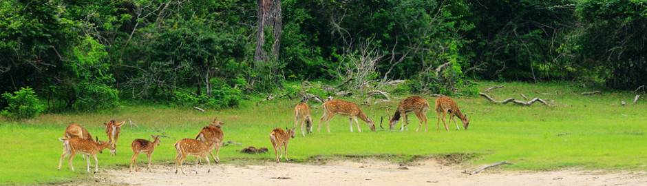 Herd of Deer in Wilpattu National Park