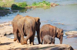 Elephants at Pinnawala Elephant Orphanage
