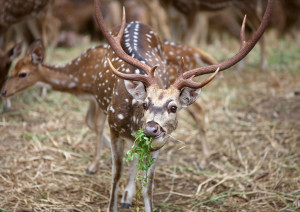 Spotted Deer Yala National Park